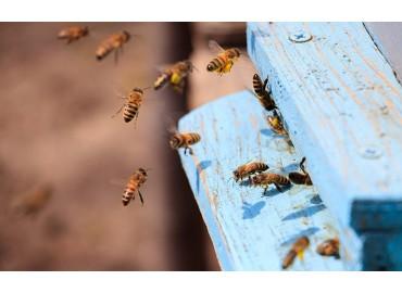 Qu'est-ce qu'une abeille charpentière ?